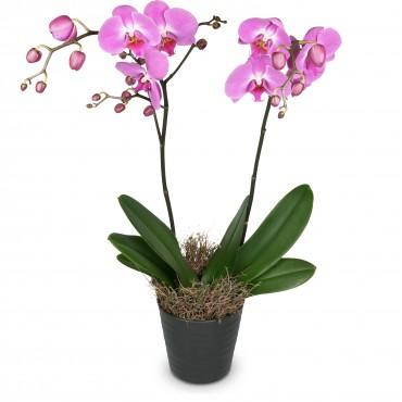 Deep pink Orchid (Phalaenopsis)