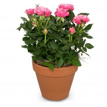 Loving surprise (rose plant)