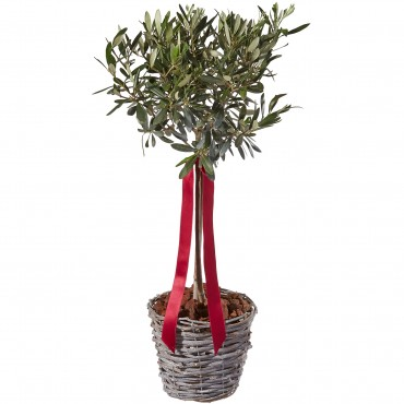 Miniature Olive Tree