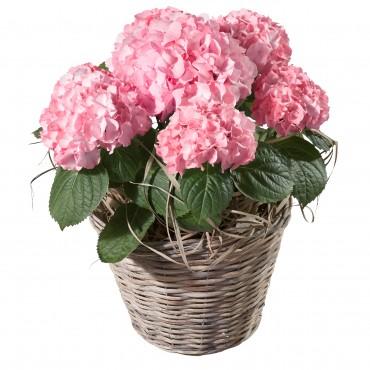 Hydrangea (pink)