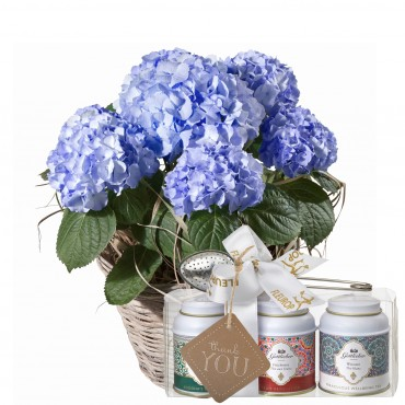 Hydrangea (blue) with Gottlieber tea gift set and hanging gift tag «Thank You»
