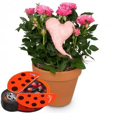 Heartfelt Surprise (rose plant) with chocolate ladybird