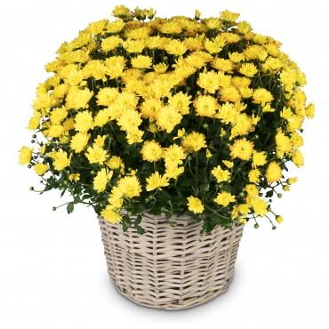 Chrysanthemum (yellow) in a basket