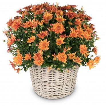 Chrysanthemum (orange) in a basket