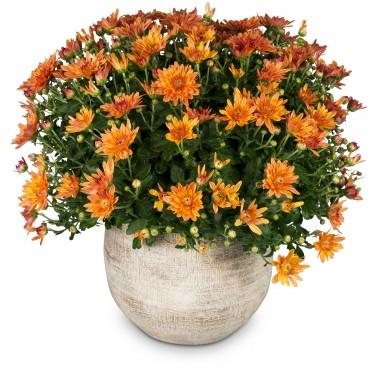 Chrysanthemum (orange) in a cachepot