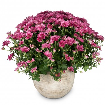 Chrysanthemum (pink) in a cachepot