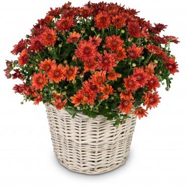 Chrysanthemum (red) in a basket