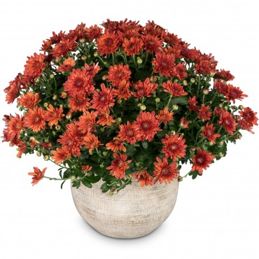 Chrysanthemum (red) in a cachepot