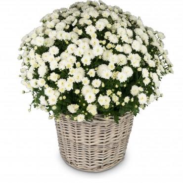 Chrysanthemum (white) in a basket
