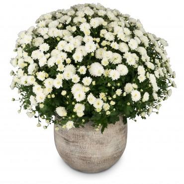 Chrysanthemum (white) in a cachepot