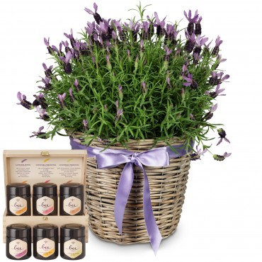 Scented Summer Greeting (potted lavender) with honey gift set