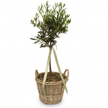 Summer Dream (miniature olive tree)