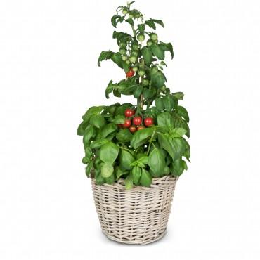 Italian Feeling (basil & tomato plant)