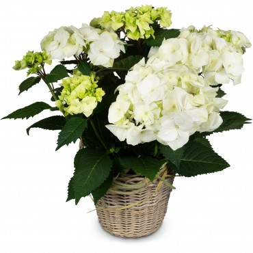 Memory that Lasts (white hydrangea for the cemetery)
