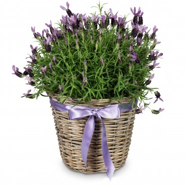 In memory (potted lavender for the cemetery)