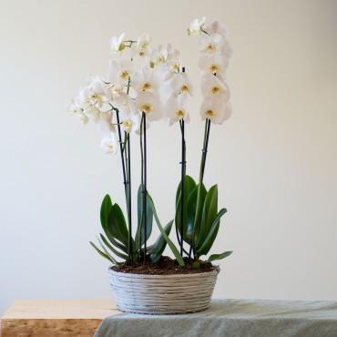 Centrepiece of white Phalaenopsis plants