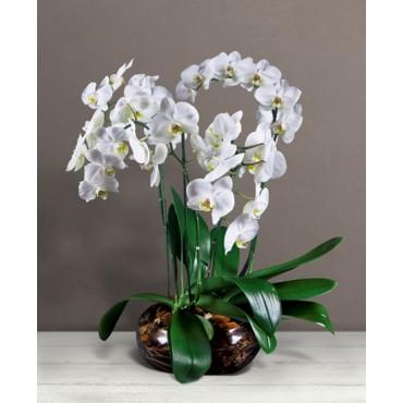 Preziosa orchidea
