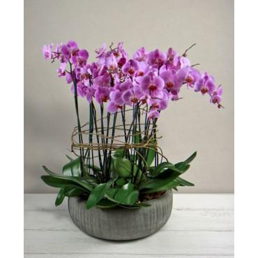 Phalaenopsis rosa