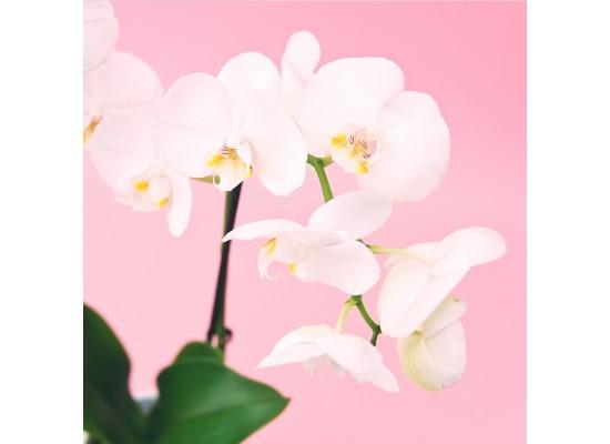 Jak pečovat o hrnkové orchideje